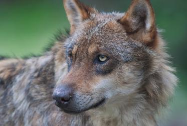 Vertelnamiddag 'Wolvenverhalen in het bos'