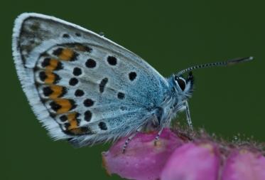 Oproep vlinderinventarisatie