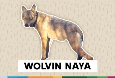 Onderzoek naar verdwijnen wolvin Naya en haar welpen
