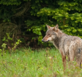 Bosland - Wolf