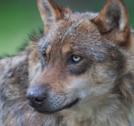 Bosland Wolf - Foto Theo Geuens