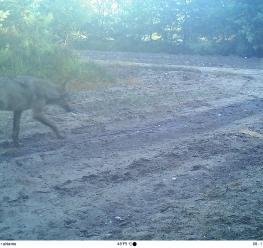 Bosland - Wolf #2