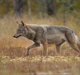 Wolf - Misjel Decleer