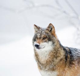 Wolf - Bob Luijks